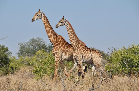 See a couple of Giraffes on a romantic safari in Kruger Park.