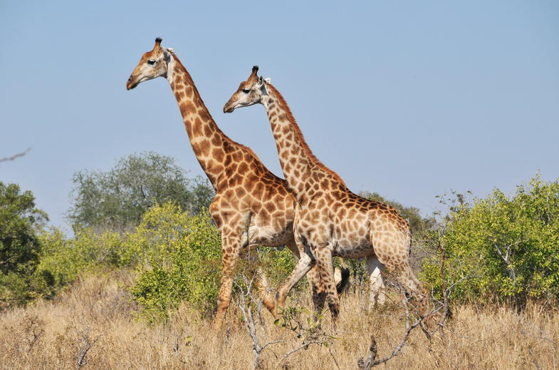 A Giraffe couple in Kruger National Park.