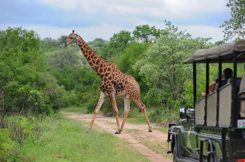 Enjoy morning and evening drives in a covered safari vehicles.