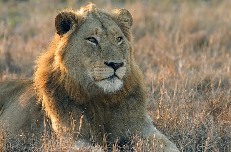A proud Lion in Kruger National Park.