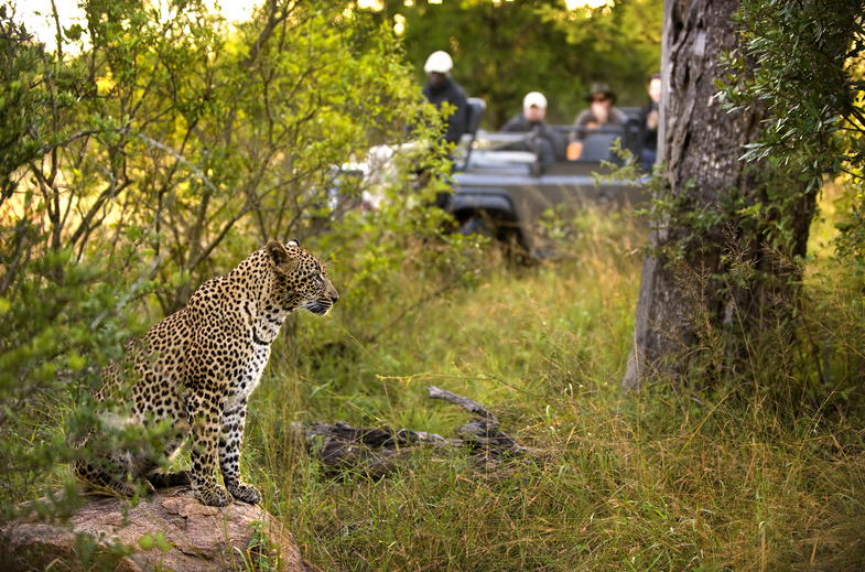 Leopards can be seen on daily guided game drives.