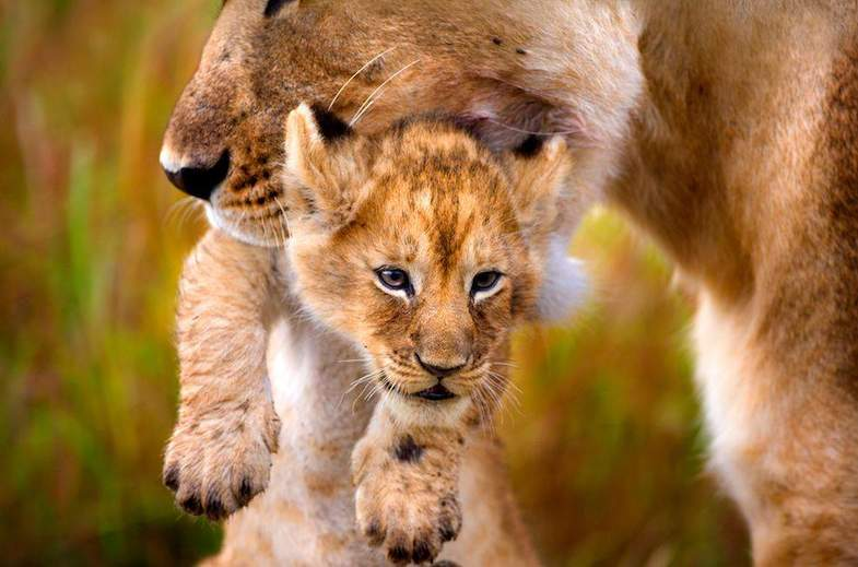 Lioness and cub interaction in Kruger National Park.