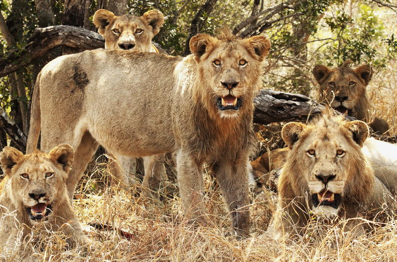 Lion pride in Kruger National Park.