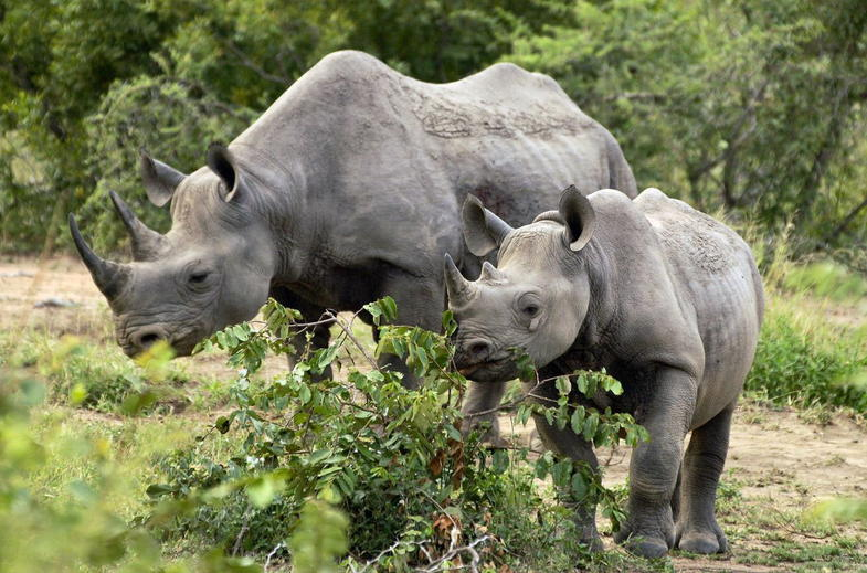 Kruger National Park is home to endangered Rhinos.
