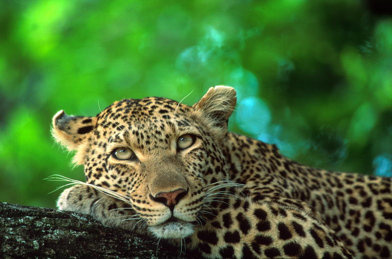 A leopard lounging in a tree.
