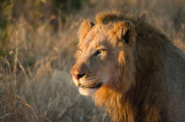 Head into the bush in search of African Lion.