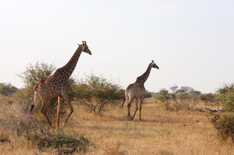 Giraffes in Southern Kruger Park, South Africa.